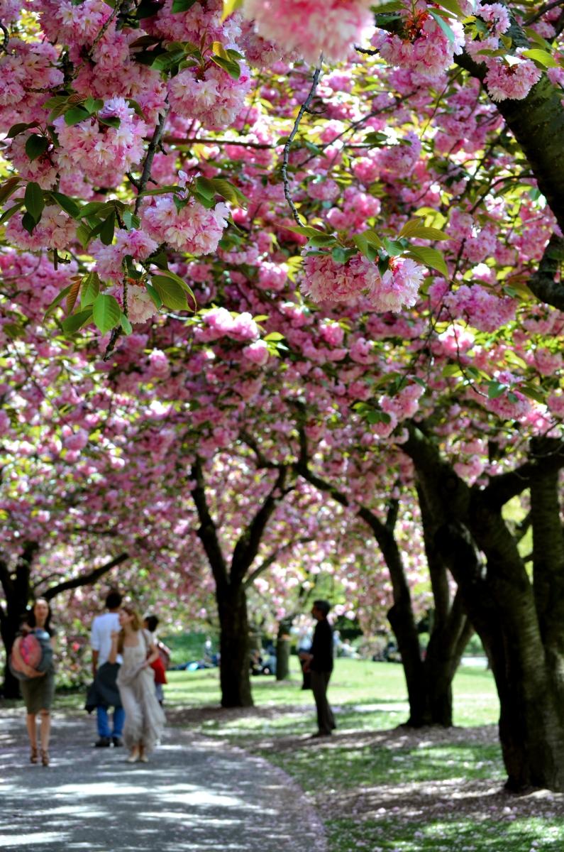 布鲁克林植物园 樱花赏_图1-5