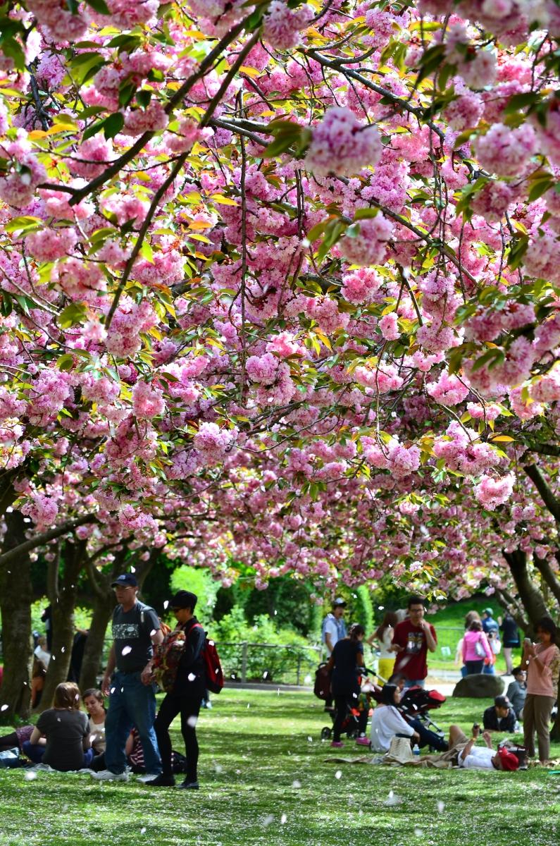 布鲁克林植物园 樱花赏_图1-2