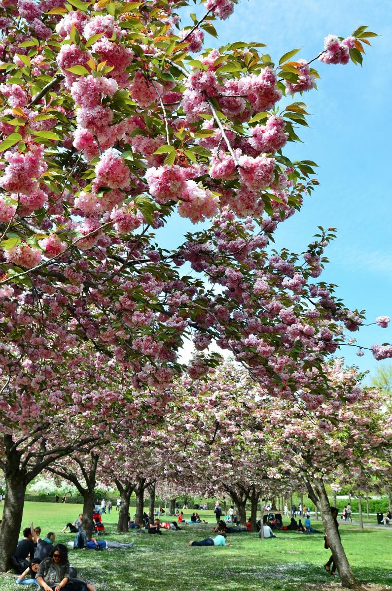 布鲁克林植物园 樱花赏_图1-6