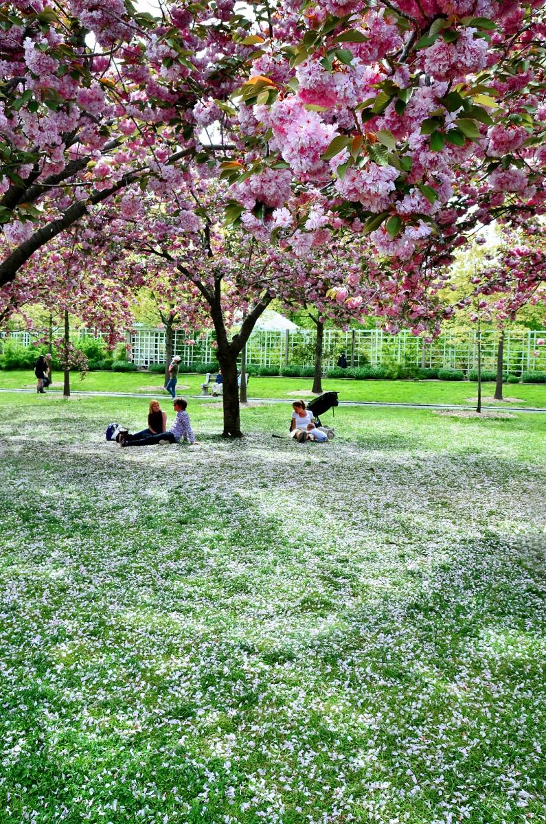 布鲁克林植物园 樱花赏_图1-10