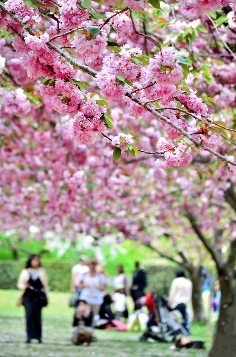 布鲁克林植物园 樱花赏_图1-11