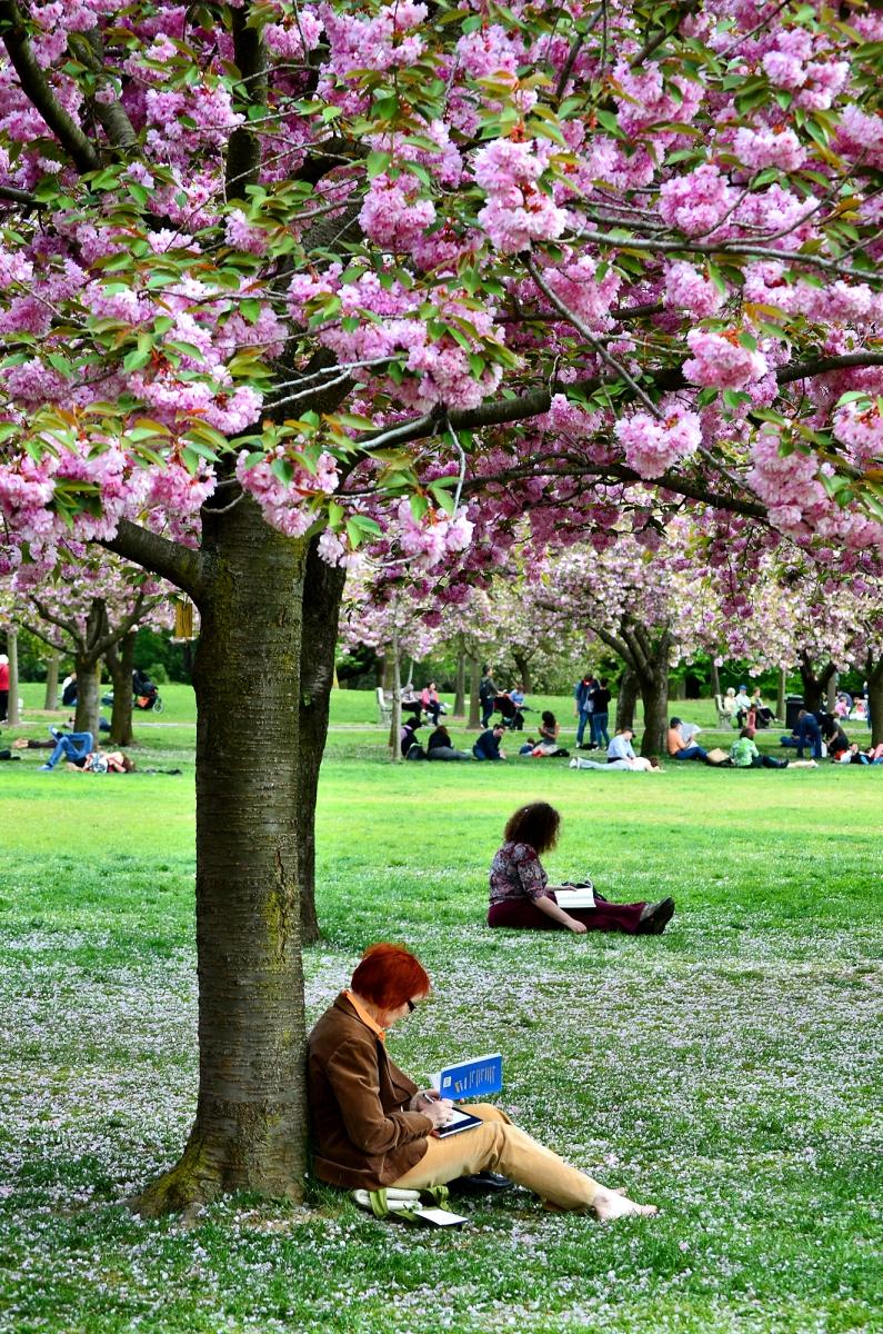 布鲁克林植物园 樱花赏_图1-7
