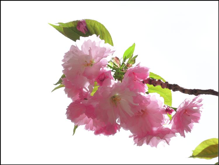 【star8拍攝】2015櫻花_图1-12