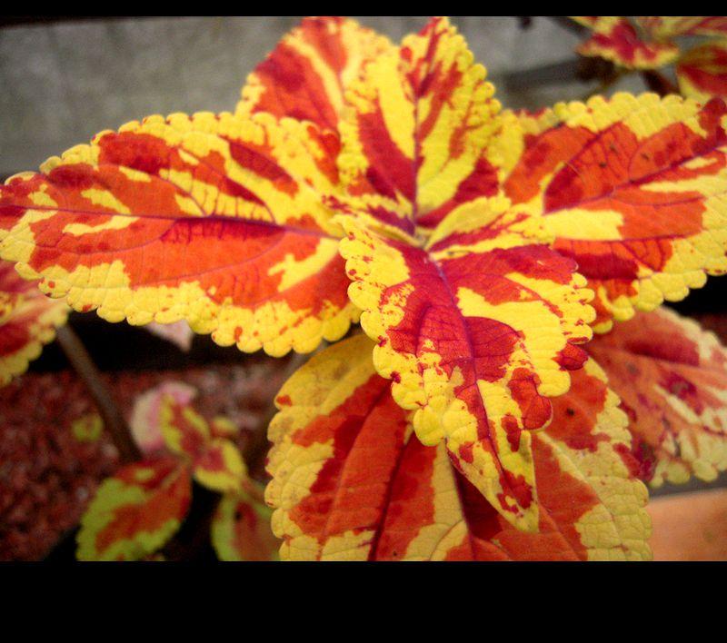 与花儿比美的叶子