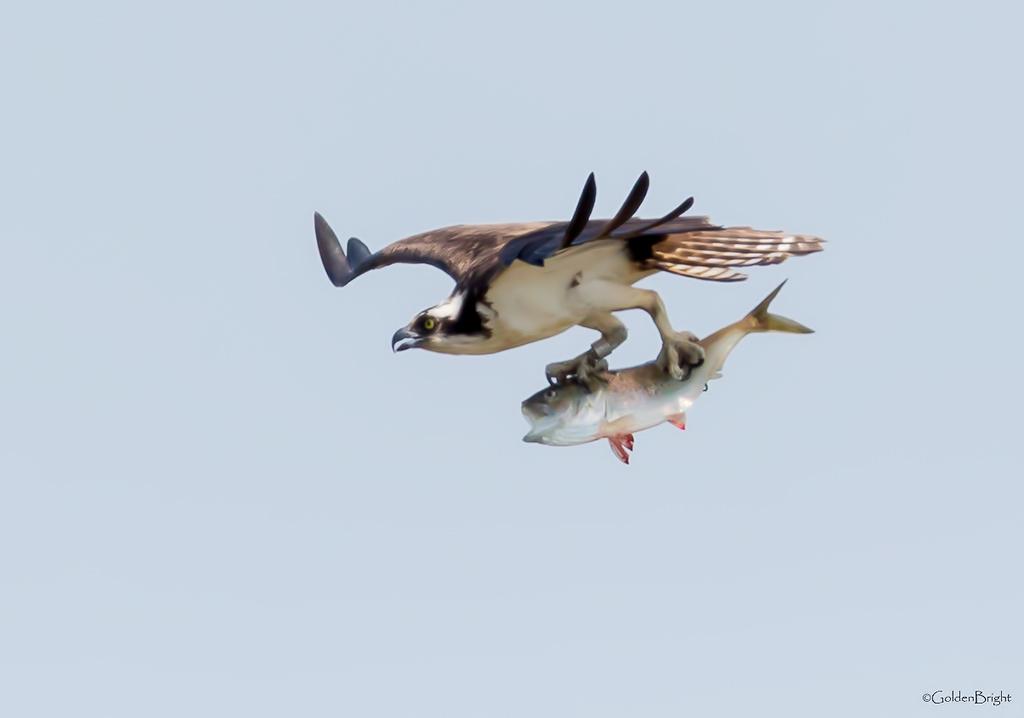 鱼鹰的早餐_图1-1
