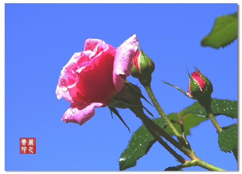 玫瑰园里玫瑰多