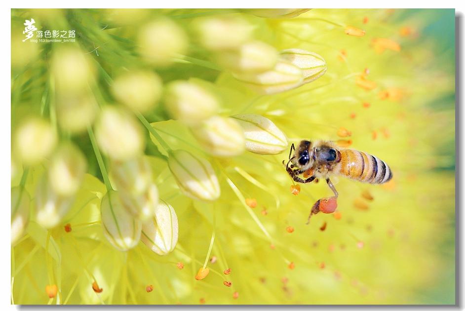 〖梦游摄影〗小蜜蜂_图1-3
