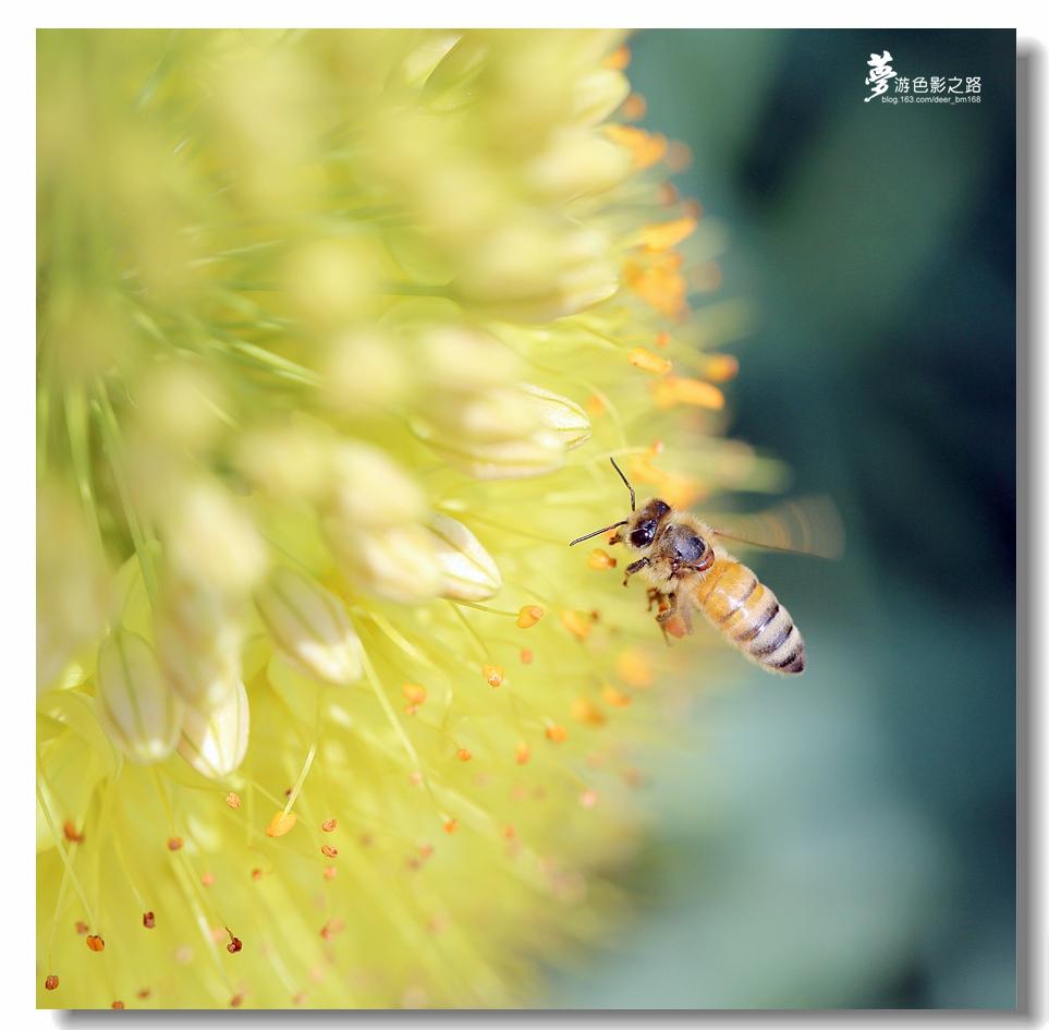 〖梦游摄影〗小蜜蜂_图1-9