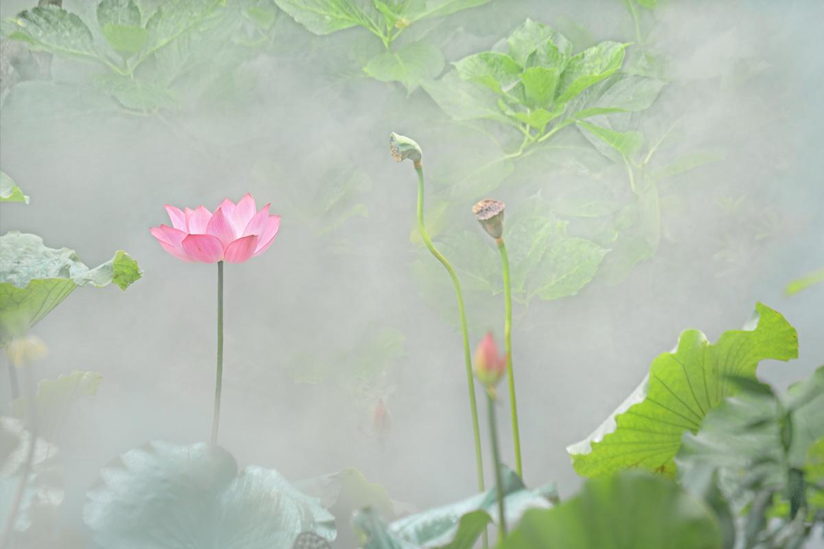 【达威】云山雾水画粉荷_图1-7