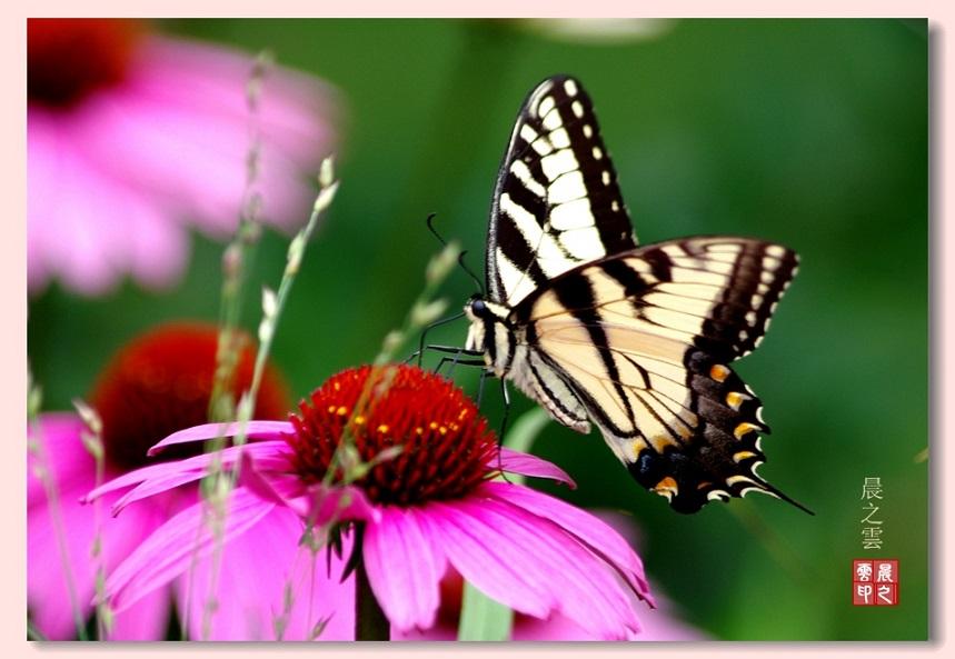 粉黄的蝴蝶亲吻粉红的菊花