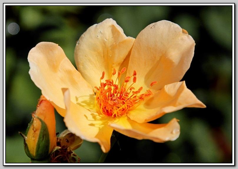 蔷薇与蜜蜂_图1-1