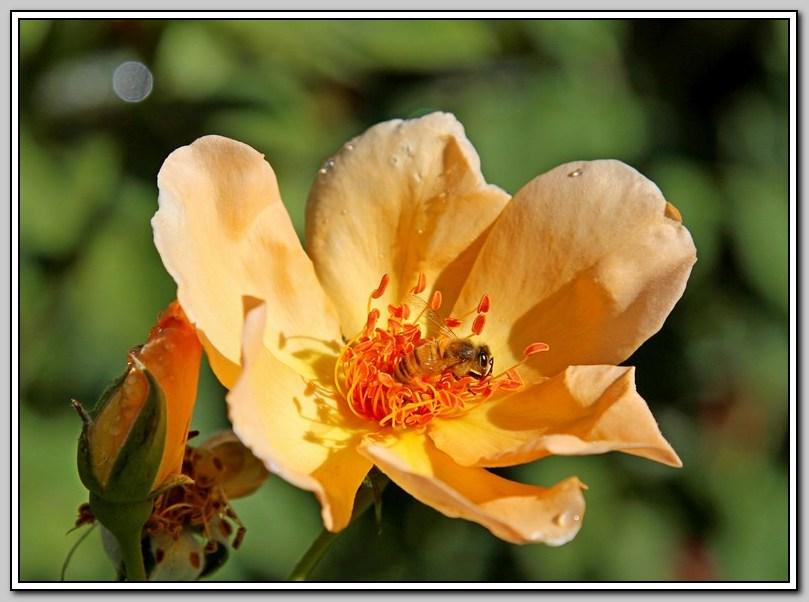 蔷薇与蜜蜂_图1-2