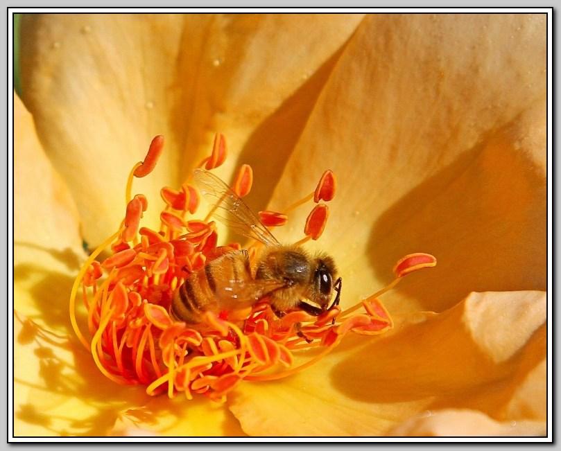 蔷薇与蜜蜂_图1-3