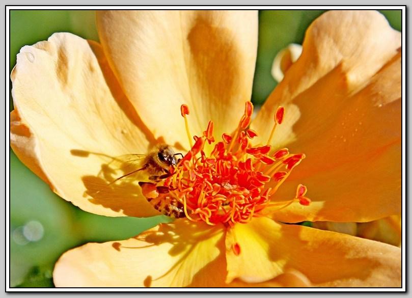 蔷薇与蜜蜂_图1-4