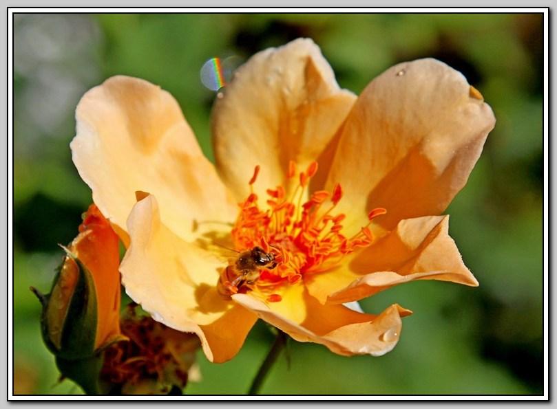 蔷薇与蜜蜂_图1-6