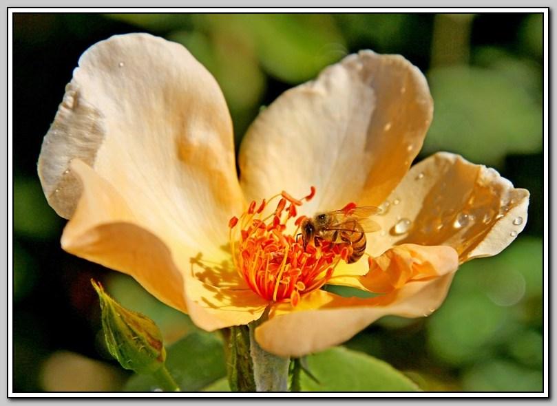 蔷薇与蜜蜂_图1-5