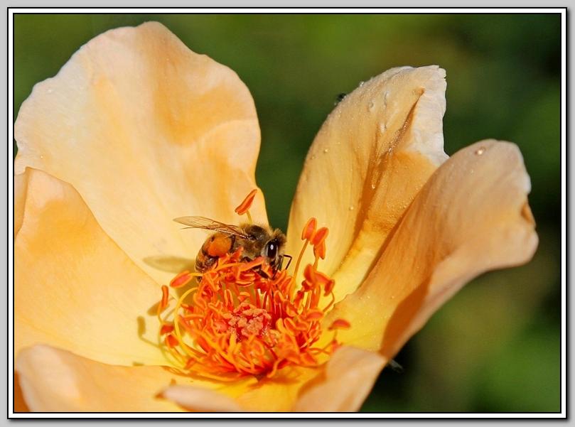 蔷薇与蜜蜂_图1-7