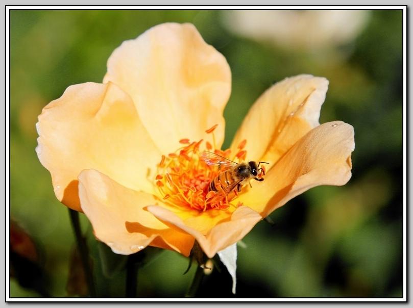 蔷薇与蜜蜂_图1-8