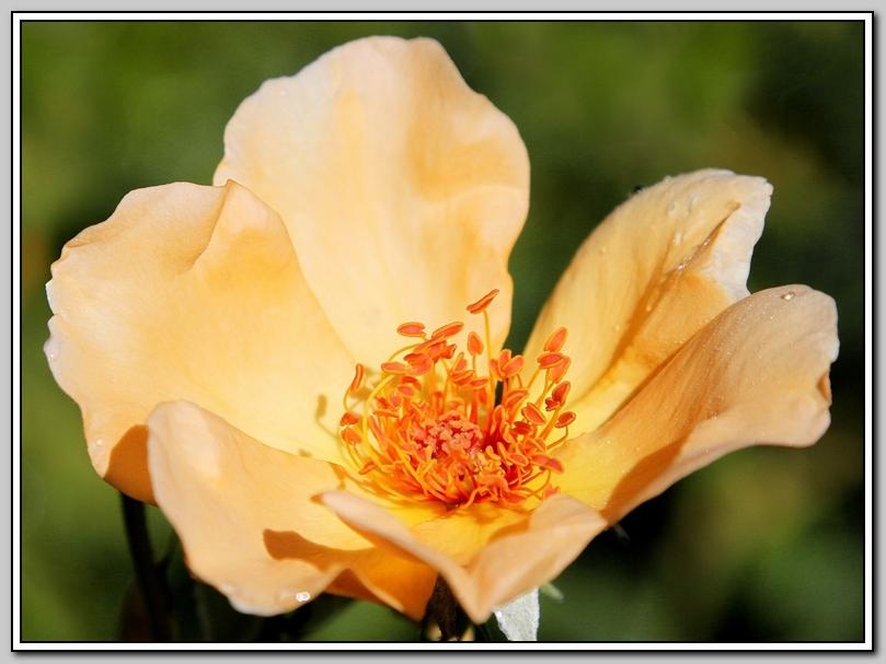 蔷薇与蜜蜂_图1-9