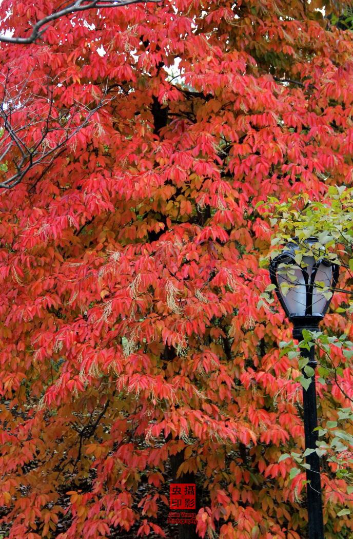 【攝影蟲】紐約中央公園紅葉舞秋風_图1-1