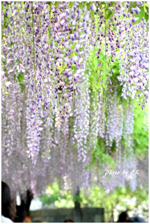 那一年的紫藤花_图1-1
