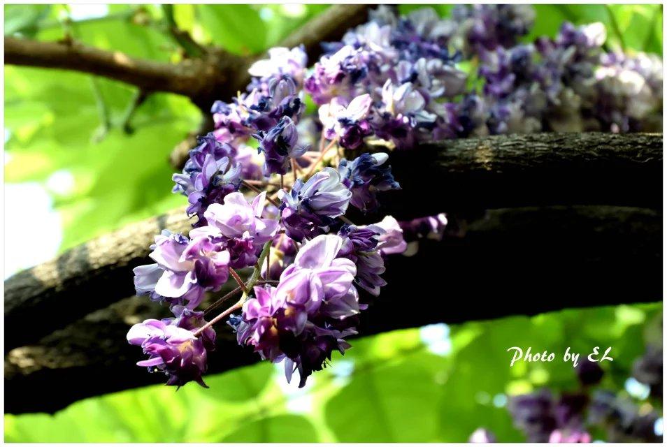 那一年的紫藤花_图1-2