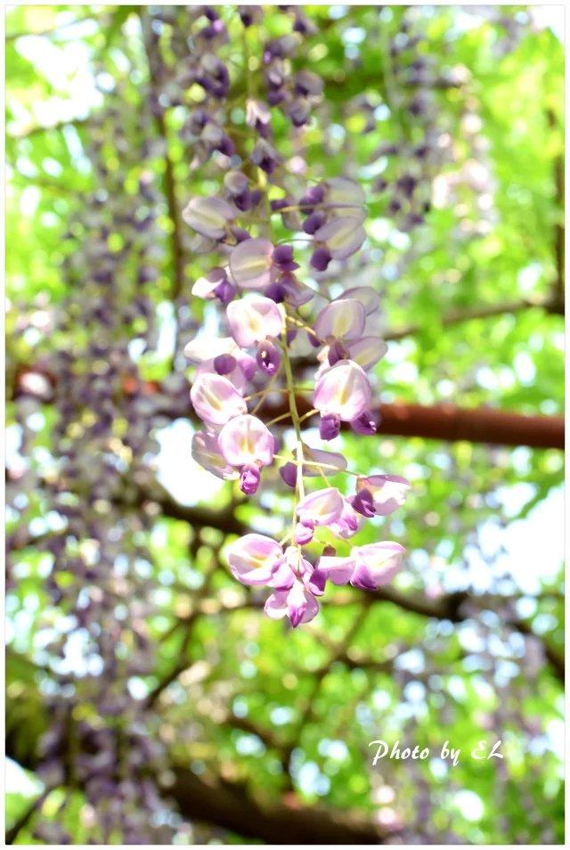 那一年的紫藤花_图1-4