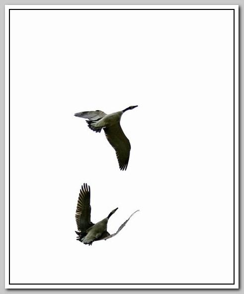 加拿大黑雁飞来洛杉矶了_图1-15