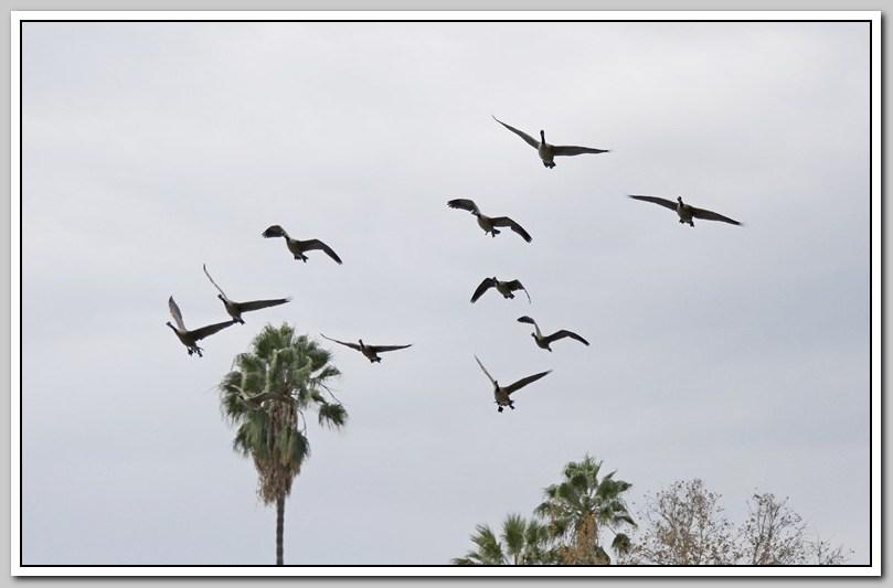 加拿大黑雁飞来洛杉矶了_图1-20