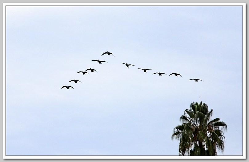 加拿大黑雁飞来洛杉矶了_图1-21