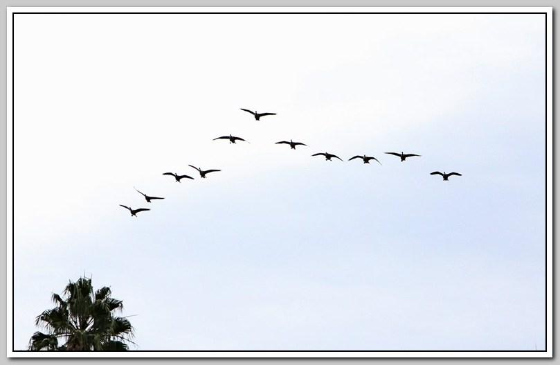 加拿大黑雁飞来洛杉矶了_图1-22