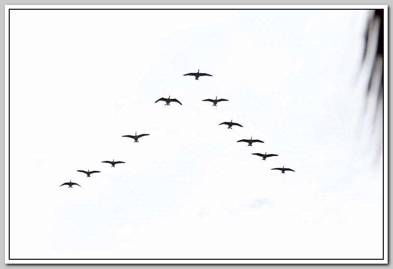 加拿大黑雁飞来洛杉矶了_图1-23
