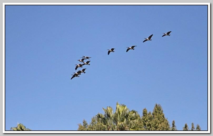 加拿大黑雁飞来洛杉矶了_图1-24