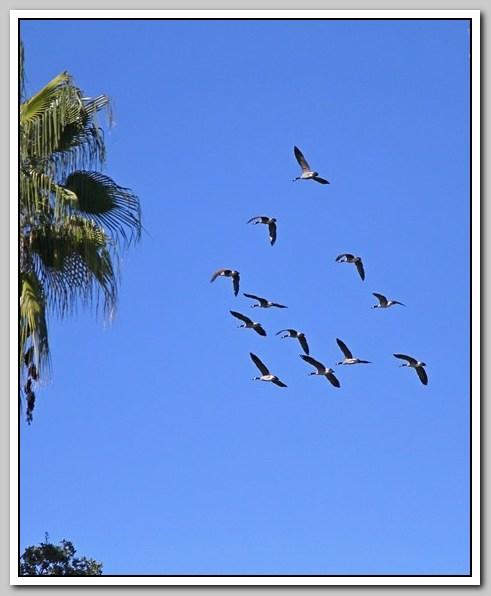 加拿大黑雁飞来洛杉矶了_图1-26