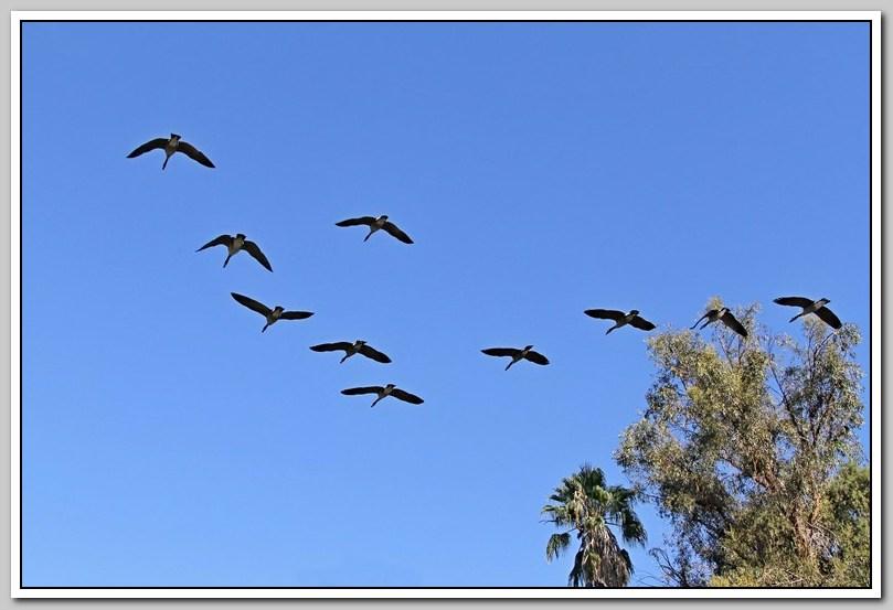 加拿大黑雁飞来洛杉矶了_图1-27