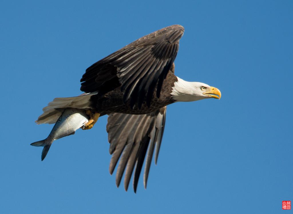 霸气十足美国国鸟白头鹰_图1-9