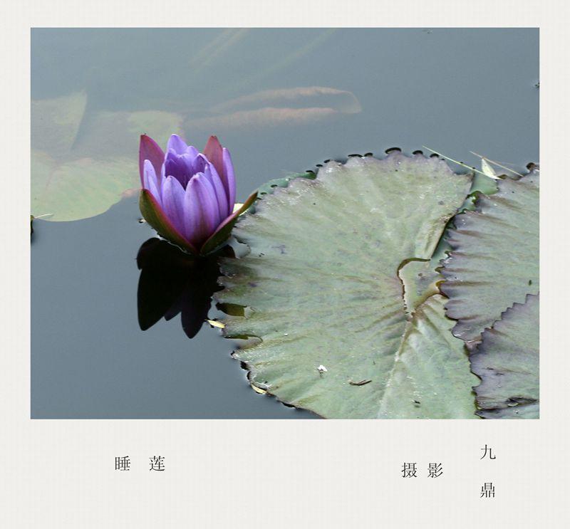 摄影    睡 莲_图1-1