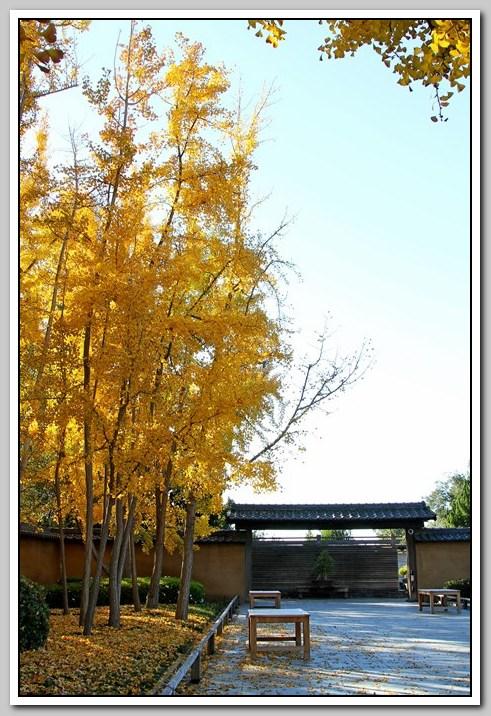 秋景 (三) -- 銀杏树_图1-3