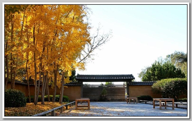 秋景 (三) -- 銀杏树_图1-27
