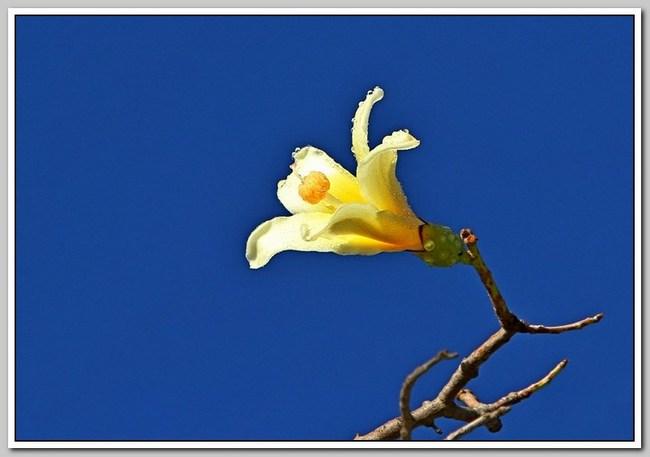 白色的异木棉花_图1-5