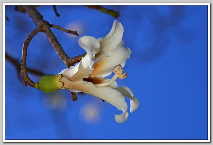白色的异木棉花_图1-16