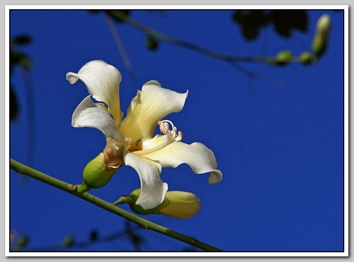 白色的异木棉花_图1-20