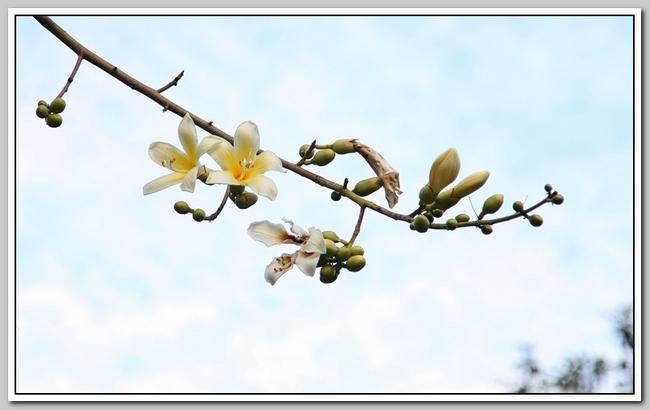 白色的异木棉花_图1-21