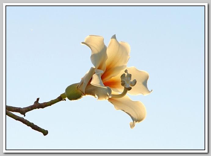 白色的异木棉花_图1-22