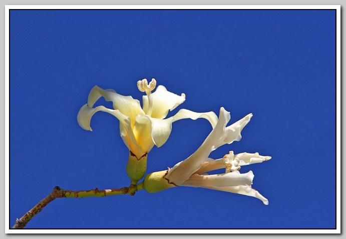 白色的异木棉花_图1-29