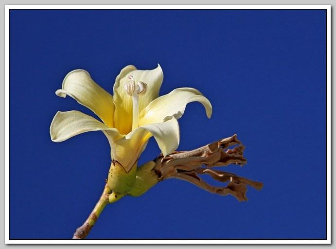 白色的异木棉花_图1-32