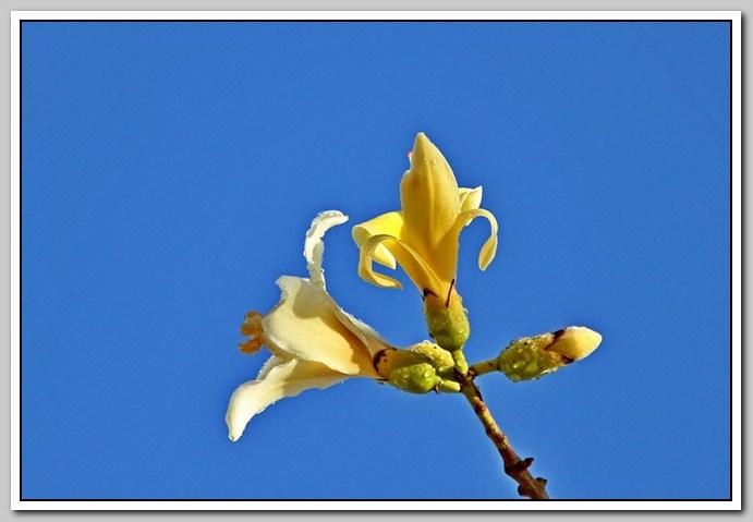 白色的异木棉花_图1-33
