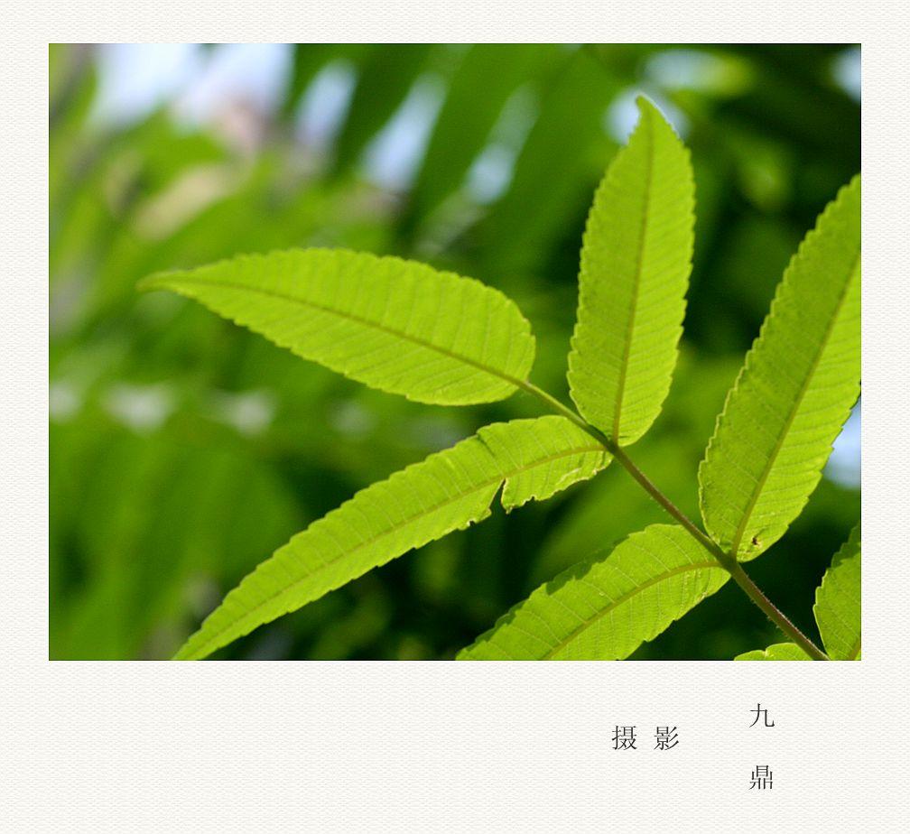 摄影  树 叶_图1-3