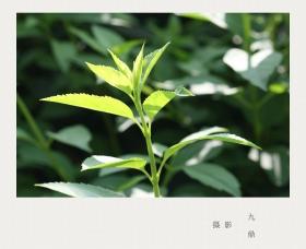 摄影  树 叶_图1-18