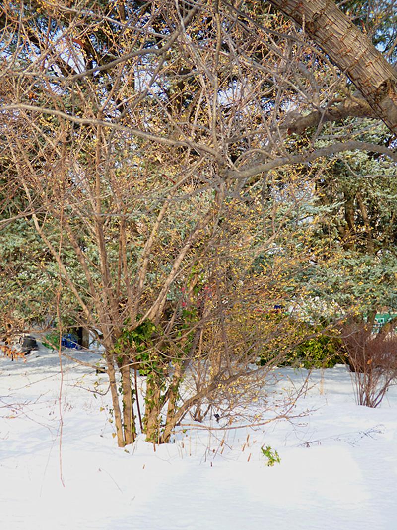 法拉盛植物园雪景_图1-3
